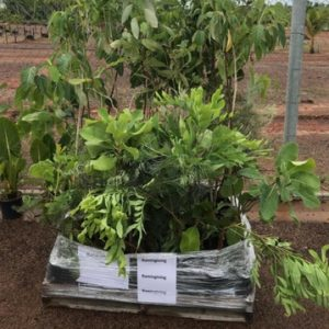 Trees to Cyclone Lam affected communities in East Arnhem